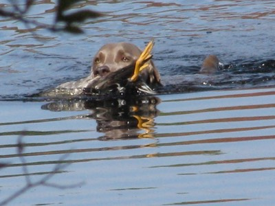 Weimaraner Swimming with Duck - Lenni